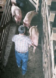An employee at White's Livestock Auction in Brooksville, IN, moves pigs into a waiting pen.