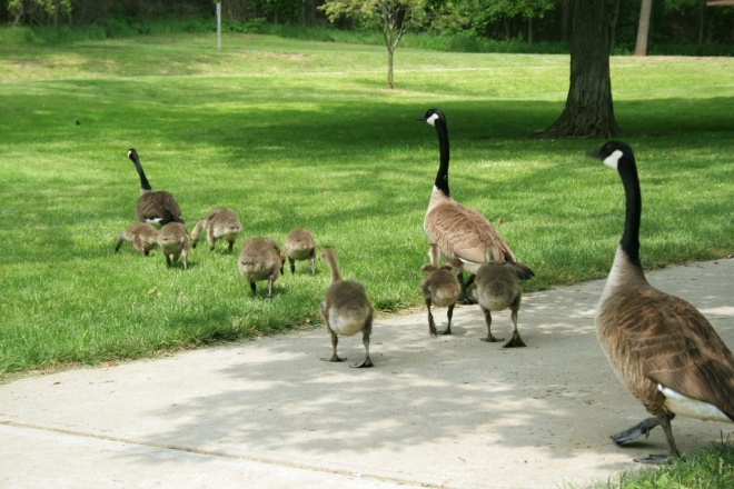 A gaggle of Canada geese crosses a path in Cincinnati's Sharon Woods. Photo courtesy of Konstantin Vasserman.